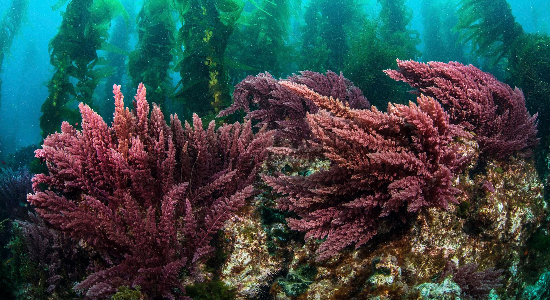Marine Algae